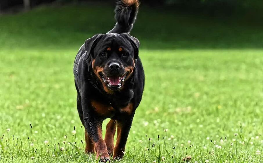 Sbranato dai rottweiler della fidanzata : muore 49enne nel Padovano
