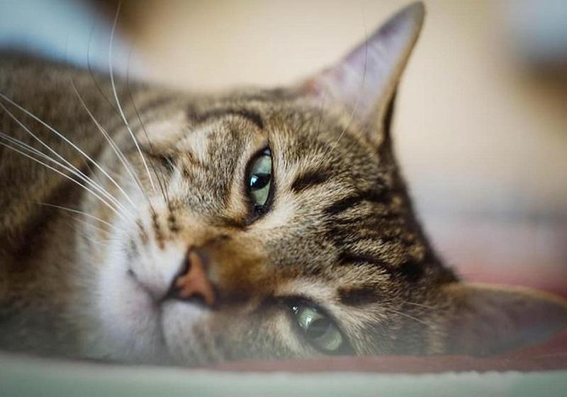 Coronavirus, positivo gatto domestico : La giovane padrona ha il Covid19