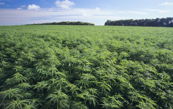 Chi può coltivare la canapa e a cosa serve?