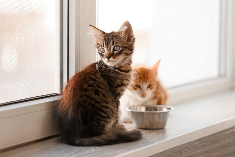 Come nutrire correttamente il gatto