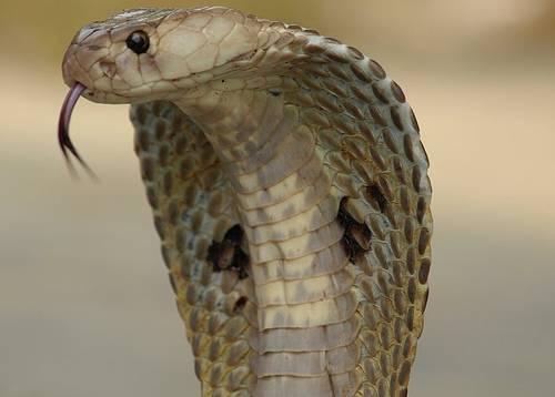 India : Uccide la moglie con un cobra nel letto